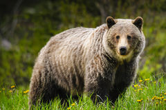 ursus horribilis гризли медведя arctos Стоковые Изображения RF