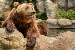 ursus kamchatka коричневого цвета beringianus медведя arctos стоковое изображение rf