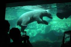 ursus maritimus медведя приполюсный стоковая фотография