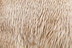 ursus maritimus шерсти медведя приполюсный Стоковые Фотографии RF