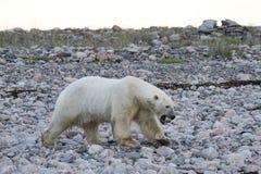 Ursus Maritimus del oso polar que camina a lo largo de una línea de la playa rocosa cerca de Arviat, Nunavut fotos de archivo