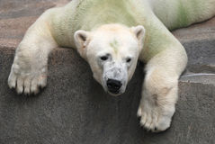 Ursus maritimus. Polar bear lying on the rocks indifferently looks into the distance Stock Images