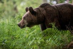 Ursus salvaje Arctos del oso de Brown Foto de archivo libre de regalías