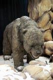 Ursus spelaeus cave bear royalty free stock photography