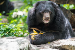 Ursus thibetanus eating banana. Ursus thibetanus  eating banana in zoo Thailand Stock Image
