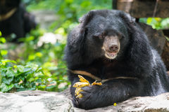 Ursus thibetanus eating banana. Ursus thibetanus  eating banana in zoo Thailand Stock Images