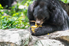 Ursus thibetanus eating banana. Ursus thibetanus  eating banana in zoo Thailand Royalty Free Stock Images
