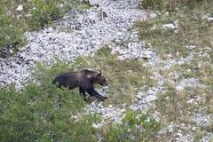 Ursusarctosmarsicanus, Marsican brunbjörn som går i Abruzzo berg, Italien Royaltyfri Fotografi