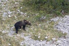 Ursusarctosmarsicanus, Marsican brunbjörn som går i Abruzzo berg, Italien Royaltyfria Foton