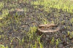 Urti ed aghi bruciati con il pino nel legno dopo struttura del fondo del fuoco Immagine Stock