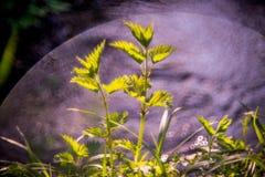 Urtica Photo libre de droits