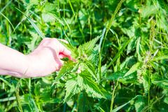 Urtica dioica called common nettle stinging nettle or nettle leaf touched by a women`s hand is a herbaceous perennial flowering royalty free stock photography