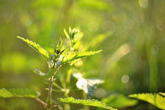 Urtica dioica in a golden morning sunlight. Meadow flower blossom close up Stock Photos