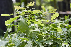 Urtica dioica, often called common nettle or stinging nettle Stock Images