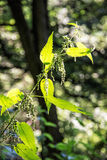Urtica dioica, often called common nettle or stinging nettle is Royalty Free Stock Photos