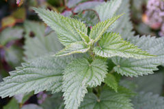 Urtica dioica, often called common nettle or stinging nettle Royalty Free Stock Photography