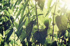 Urtica dioica, often called common nettle or stinging nettle. (although not all plants of this species sting), is a herbaceous perennial flowering plant, native royalty free stock photo