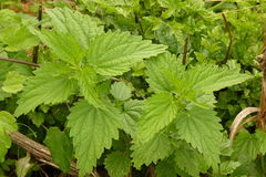 Urtica dioica. Often called common nettle, stinging nettle although not all plants of this species sting or nettle leaf, is a herbaceous perennial flowering stock images