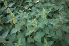 Urtica dioica plants. Urtica dioica close up, with leaves and inflorescence stock images