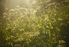 Urtica grass. Nettles urtica natural healthy herbal royalty free stock photos