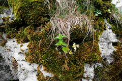 Urtica and moss on a stone. Urtica and moss with grass on a stone stock images
