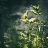 Urtica near water. Nettle Urtica and wild nature bokeh royalty free stock photo
