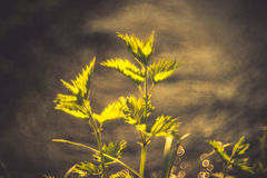 Urtica. Nettle Urtica and wild nature bokeh royalty free stock image