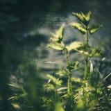Urtica près de l'eau Photo libre de droits