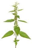 Urtica urens roślina odizolowywająca na białym tle Zdjęcie Stock