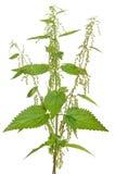 Urtica urens (Stinging nettle) plant Stock Image