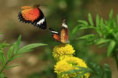 urticae μεντών s λουλουδιών πεταλούδων aglais στοκ φωτογραφία με δικαίωμα ελεύθερης χρήσης