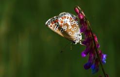urticae мяты s цветка бабочки aglais Стоковые Фото