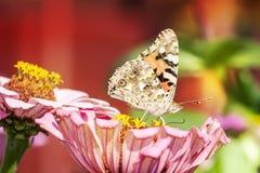 Urticae Aglais Бабочка на розовом цветке стоковые изображения rf