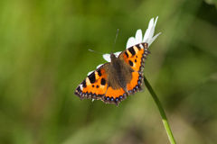 Urticae d'Aglais Photos stock