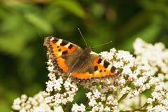 Urticae de Aglais - mariposa Imagen de archivo
