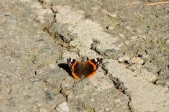 Urticae di Aglais della farfalla Fotografia Stock