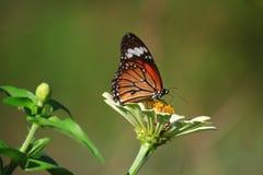 urticae för mint s för aglaisfjärilsblomma arkivfoto