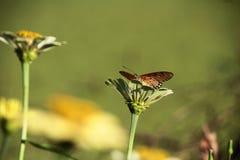 urticae för mint s för aglaisfjärilsblomma royaltyfri bild