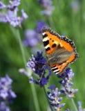 urticae tortoiseshell бабочки aglais малые Стоковое Изображение RF