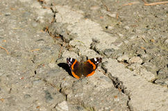 Urticae van vlinderaglais stock foto