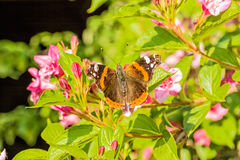 Urticaria butterfly on a blossoming branch weigel, close-up. Urticaria butterfly(Aglais urticae) on a blossoming branch weigel in spring garden in the evening Royalty Free Stock Photos