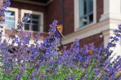 The Urticaria Butterfly Sits On Purple Flowers Nepeta Ð¡ataria Against The Blurred Background Of A Private Red Brick House royalty free stock photos