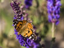 Urticaria butterfly sitting on a sage flower. Closeup royalty free stock images