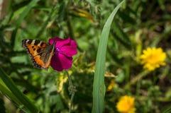 Urticaria de la mariposa en la flor Imágenes de archivo libres de regalías