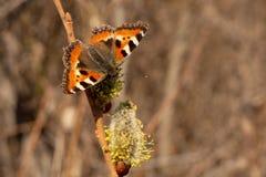 Urticaria de papillon image libre de droits