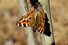 urticaria de papillon sur l'arbre image stock