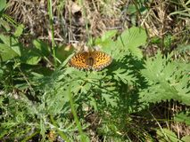 Urticaria refers to Aglaisсемейства the genus Nymphalis nymphalidae. Its specific designation is urticae nettle. Day butterfly of stock images