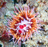 Urticina mcpeaki Anemone. Found off of central California's Channel Islands Royalty Free Stock Photos