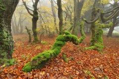 Urtids- mossig skog Arkivbilder