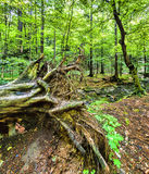 Urtids- skog Arkivfoto